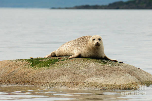 Seal Photograph - At Rest by Smart Aviation