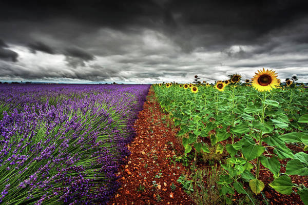 Sunflower Field Photograph - At The Middle by Jorge Maia