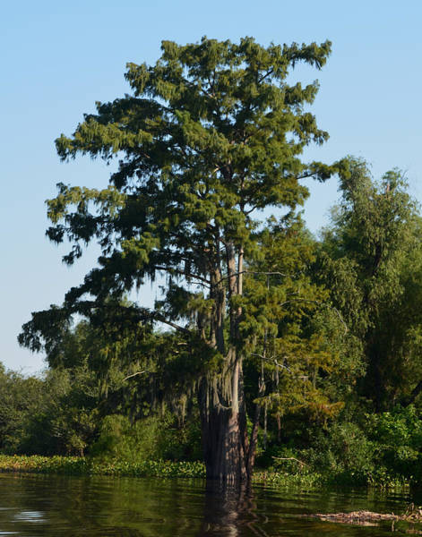Photograph - Atchafalaya Basin 11 by Maggy Marsh