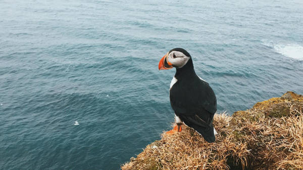 Wall Art - Photograph - Atlantic Puffin by Happy Home Artistry