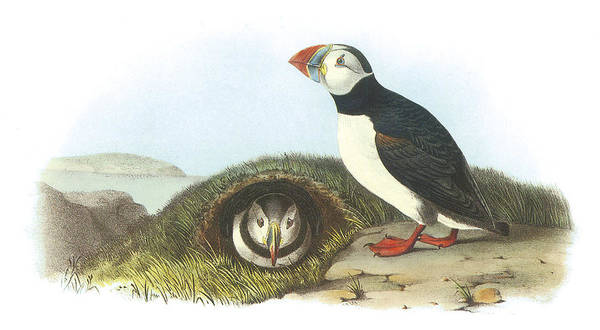 Audubon Painting - Atlantic Puffin by John James Audubon