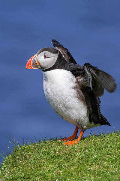 Photograph - Atlantic Puffin Stretching Wings by Arterra Picture Library