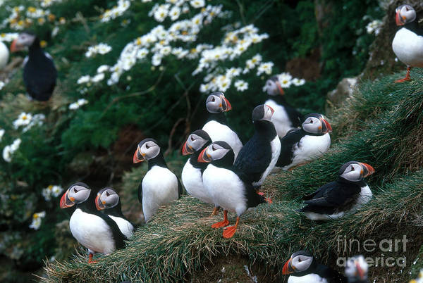 Wall Art - Photograph - Atlantic Puffins by Art Wolfe