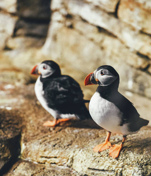 Wall Art - Photograph - Atlantic Puffins by Happy Home Artistry