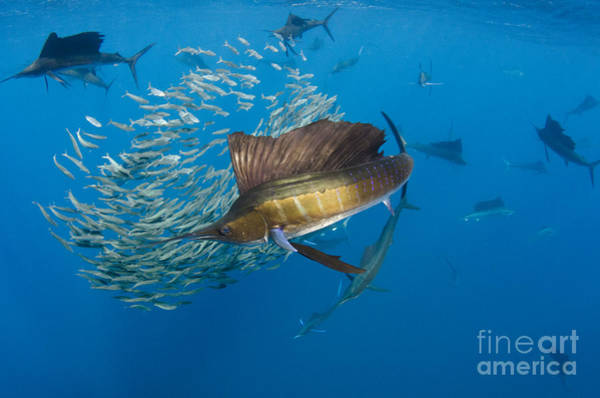 Bait Ball Photograph - Atlantic Sailfish Hunting by Pete Oxford