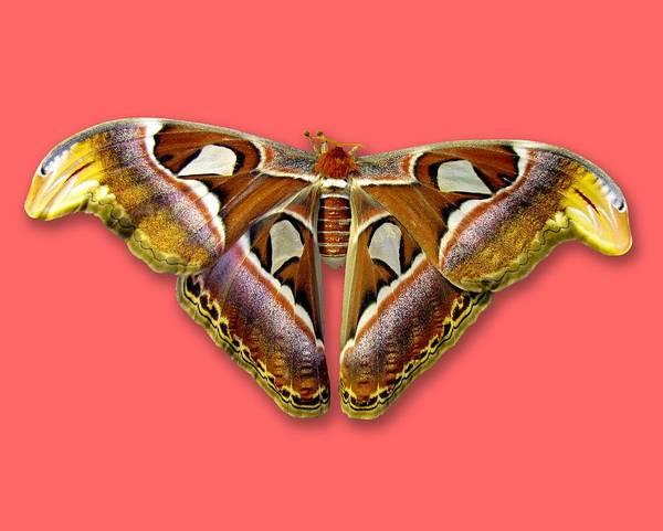 Photograph - Atlas Moth 2 Sehemu Mbili Unyenyekevu by Bob Slitzan