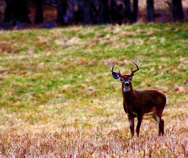 Photograph - Attentive Buck by Susie Weaver