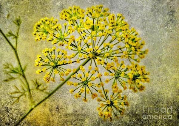 Photograph - Attractive Dill Blossom  by Rachel Hannah