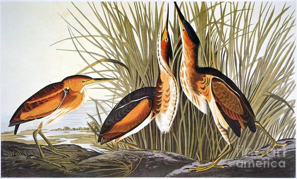 Ixobrychus Photograph - Audubon: Bittern by Granger