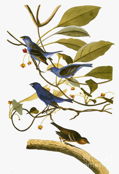 Photograph - Audubon: Bunting, 1827-38 by Granger