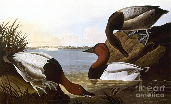 Wall Art - Photograph - Audubon: Canvasback, 1827 by Granger