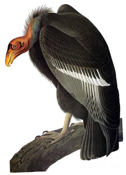 Photograph - Audubon: Condor by Granger