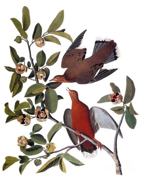 Photograph - Audubon: Dove, (1827-38) by Granger