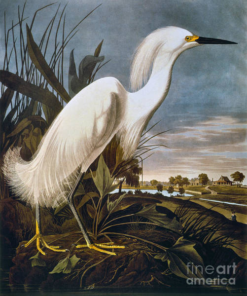 Photograph - Audubon: Egret by Granger