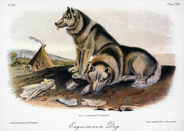 Photograph - Audubon: Eskimo Dog by Granger