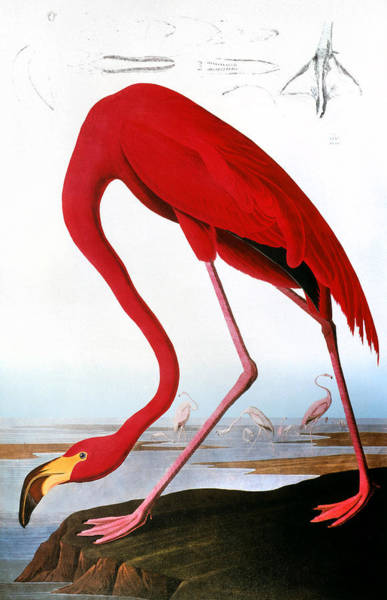 Photograph - Audubon: Flamingo, 1827 by Granger
