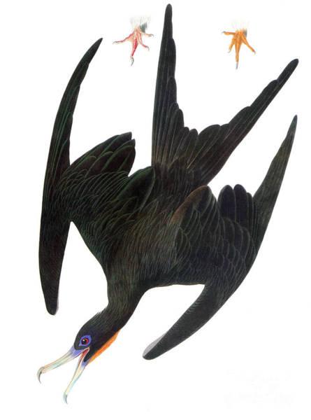 Photograph - Audubon: Frigatebird by Granger
