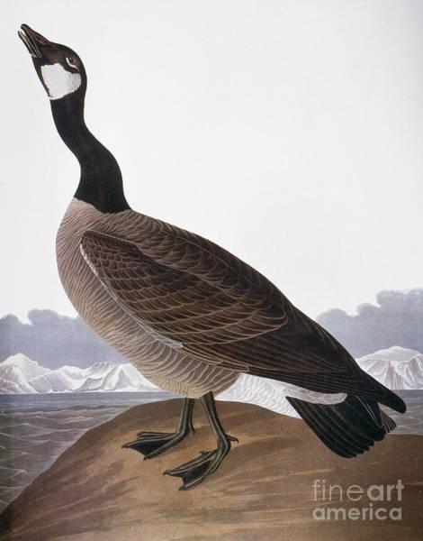 Wall Art - Photograph - Audubon: Goose, 1827 by Granger