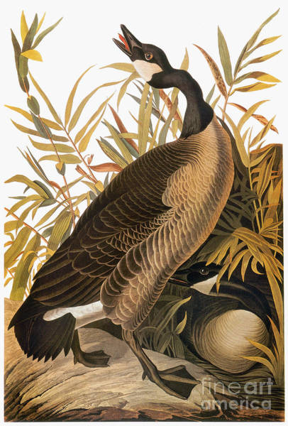 Photograph - Audubon: Goose by Granger