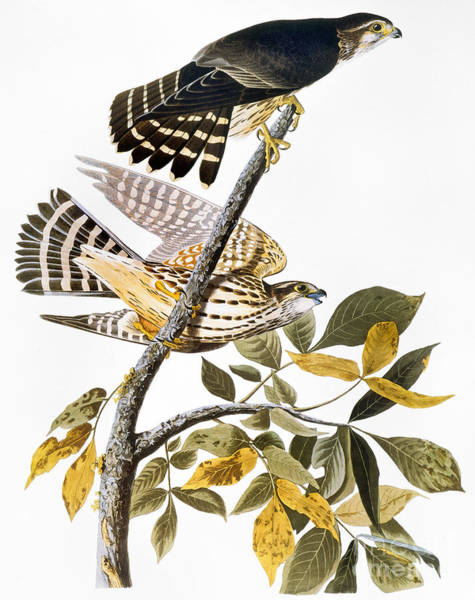Photograph - Audubon: Hawk by Granger