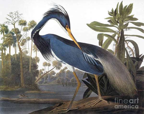 James Photograph - Audubon Heron, 1827 by John James Audubon