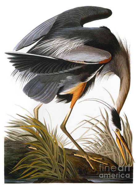 1838 Photograph - Audubon Heron by John James Audubon