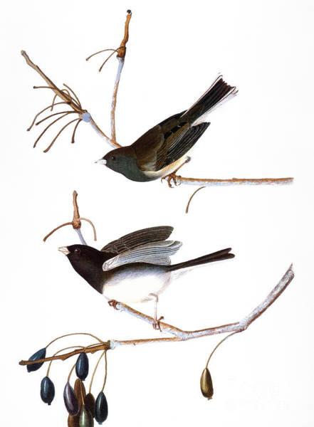 Wall Art - Photograph - Audubon: Junco, (1827) by Granger
