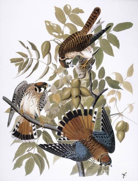 Wall Art - Photograph - Audubon: Kestrel, 1827 by Granger