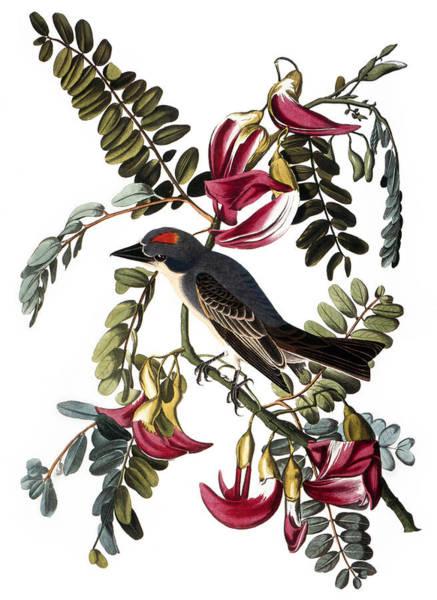 Wall Art - Photograph - Audubon: Kingbird, (1827-38) by Granger