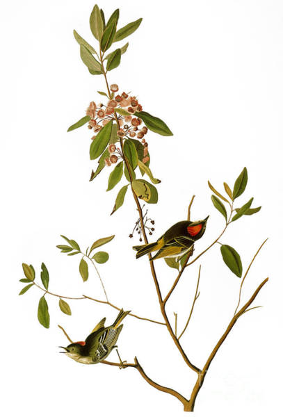 Photograph - Audubon: Kinglet, 1827 by Granger