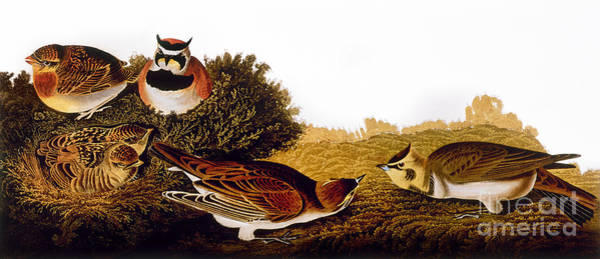1838 Photograph - Audubon Lark by John James Audubon