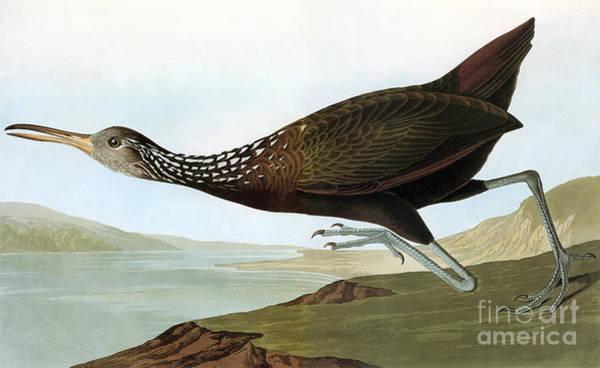 Photograph - Audubon: Limpkin by Granger