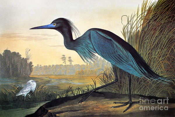 Ornithology Photograph - Little Blue Heron by John James Audubon