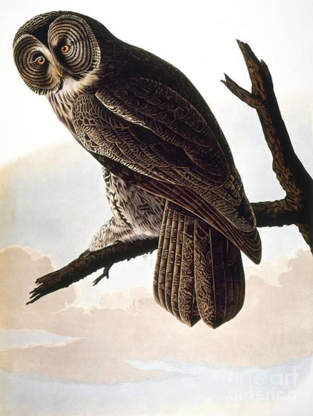 Photograph - Audubon Owl by John James Audubon