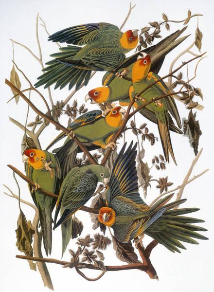 Photograph - Audubon: Parakeet by Granger