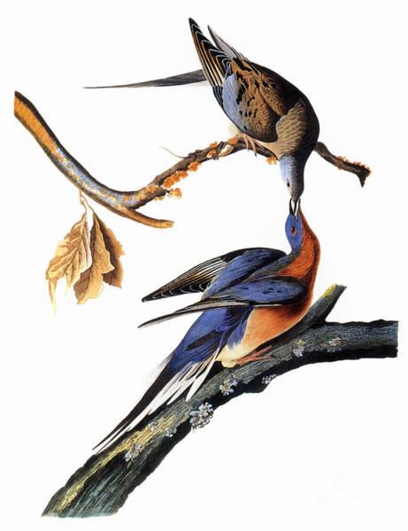 Wall Art - Photograph - Audubon: Passenger Pigeon by Granger