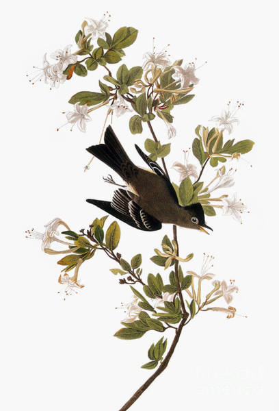 Photograph - Audubon: Pewee, 1827-38 by Granger