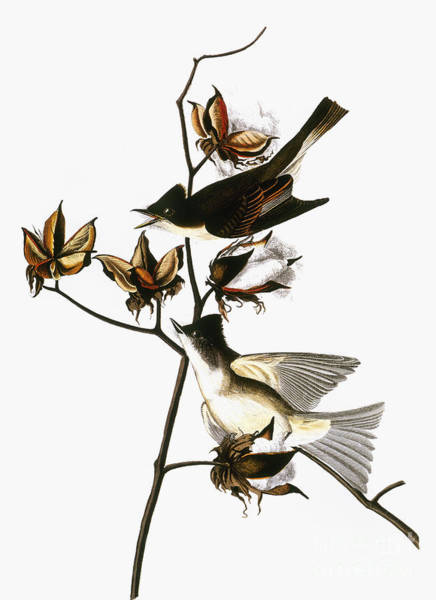 Photograph - Audubon: Phoebe by Granger
