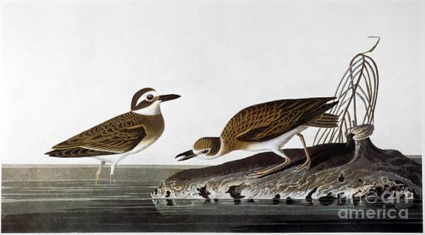Wall Art - Photograph - Audubon: Plover, 1827-38 by Granger