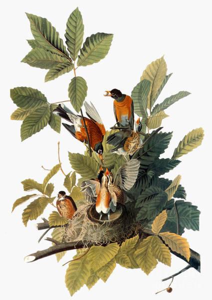 Photograph - Audubon: Robin by Granger