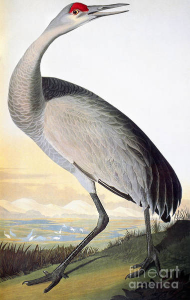 Ornithology Photograph - Audubon Sandhill Crane by John James Audubon