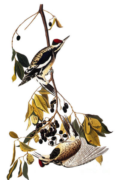 Photograph - Audubon Sapsucker, 1827-38 by John James Audubon