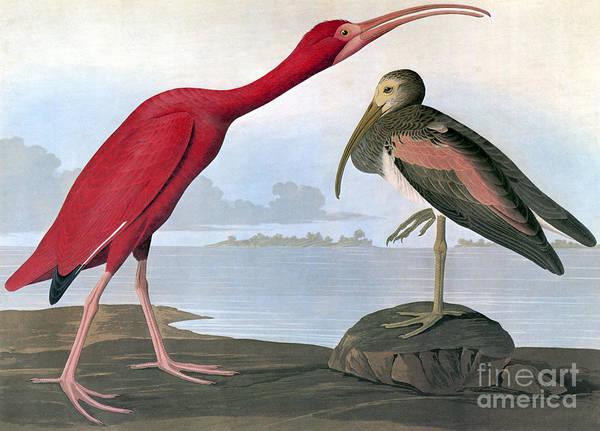 Photograph - Audubon: Scarlet Ibis by Granger