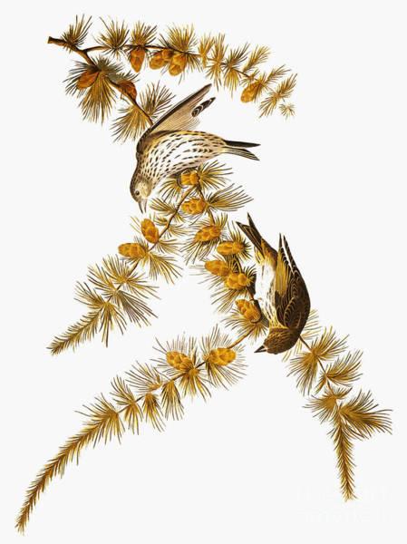 Photograph - Audubon: Siskin by Granger