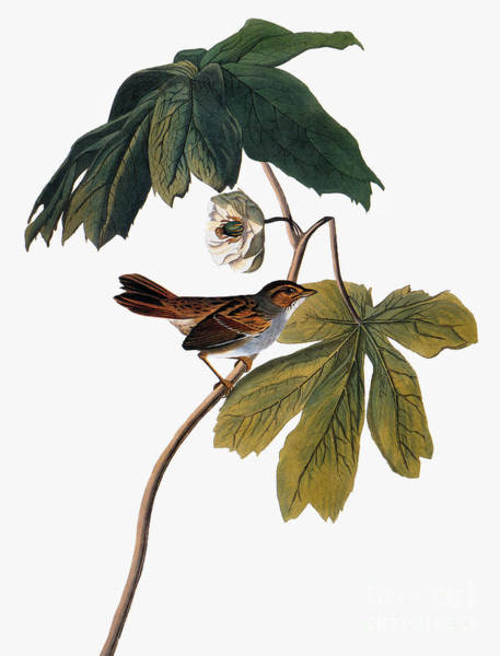 1838 Photograph - Audubon: Sparrow, 1827-38 by Granger