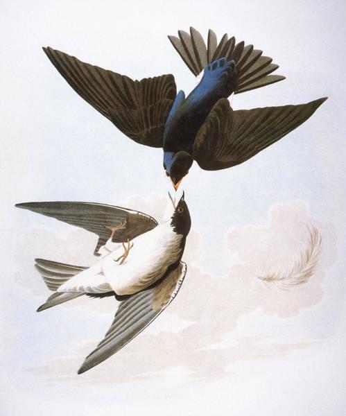 Wall Art - Photograph - Audubon: Swallows, 1827-38 by Granger