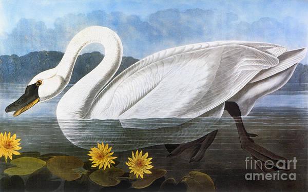 Photograph - Audubon: Swan, 1827 by Granger
