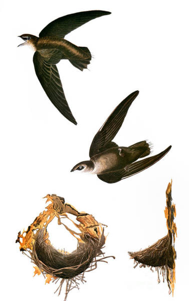 Photograph - Audubon: Swift by Granger