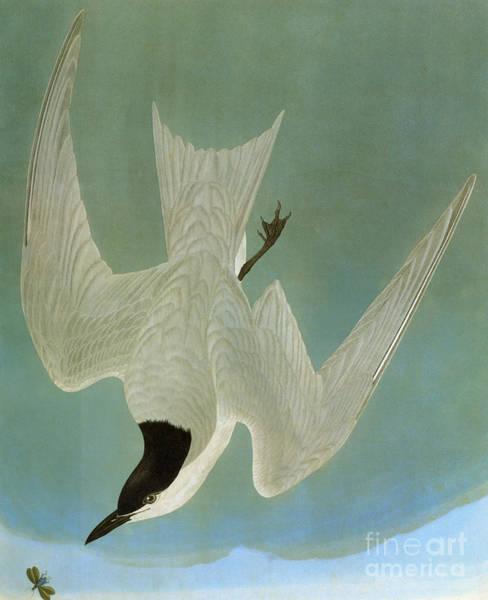 Photograph - Audubon: Tern by Granger