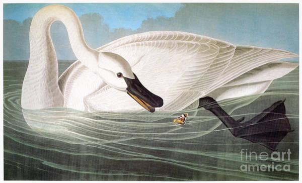 Photograph - Audubon: Trumpeter Swan by Granger